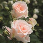 rosa rokoko