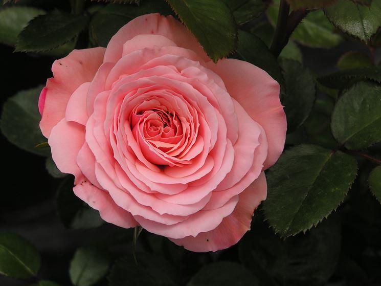 2017 Rose Catalogue - Welcome to TERRA VIVA