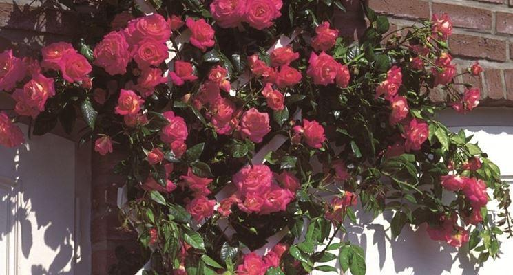 rose shogum