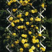 rosa stella dorata