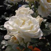 rosa valzer della neve