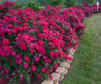 Giardinaggio for Rose tappezzanti