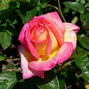 fiori rose