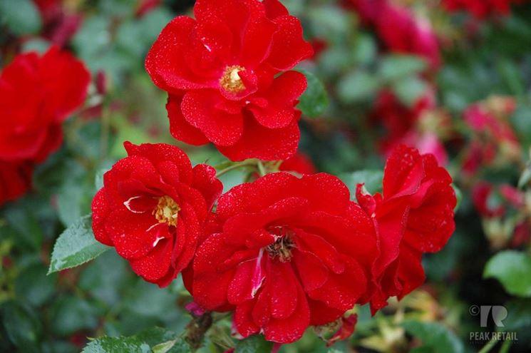 rosa austriana
