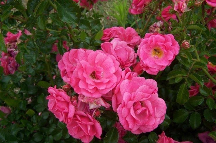 rosa beauce