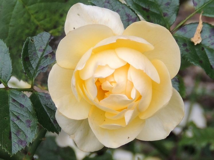 rosa canicule