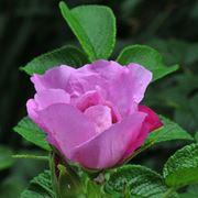 rosa foxy