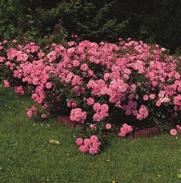 rose mirato