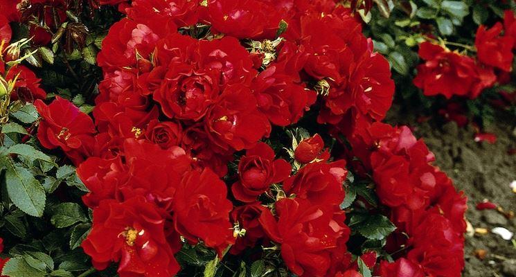 rosa red mirato