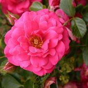 rosa rody