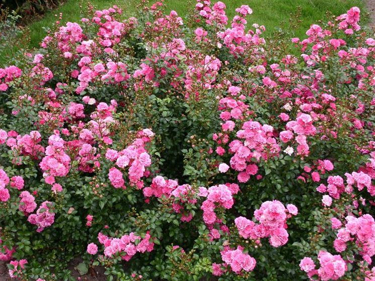 rosa tappezzante