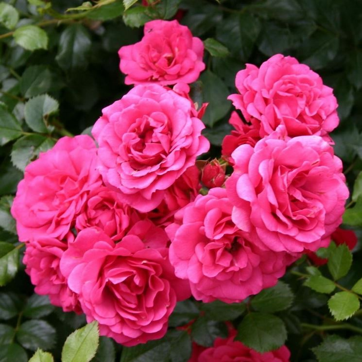 rody rose