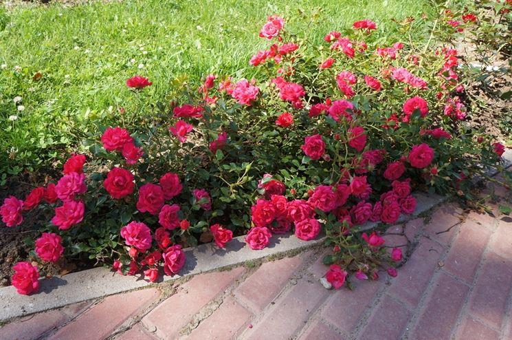 rose rody