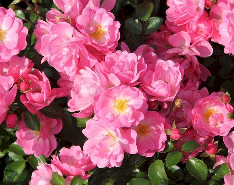rosa satina