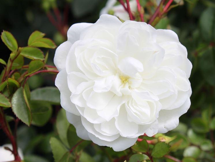 fiori snow ballet