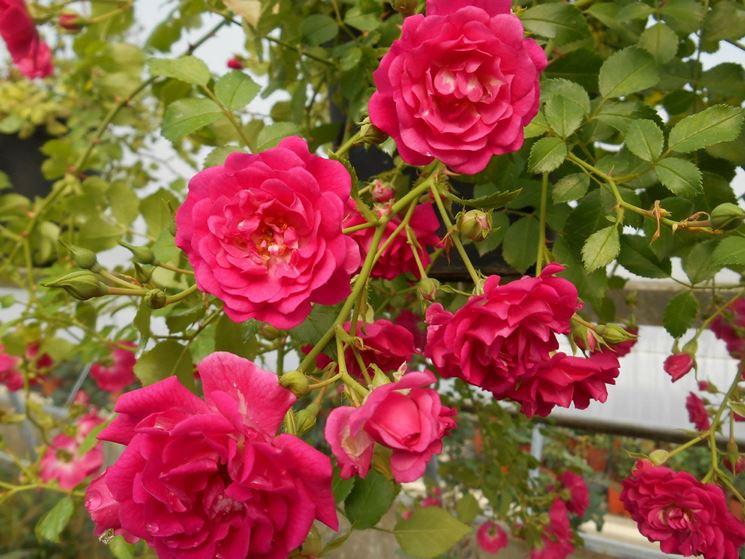 rosa violet satina