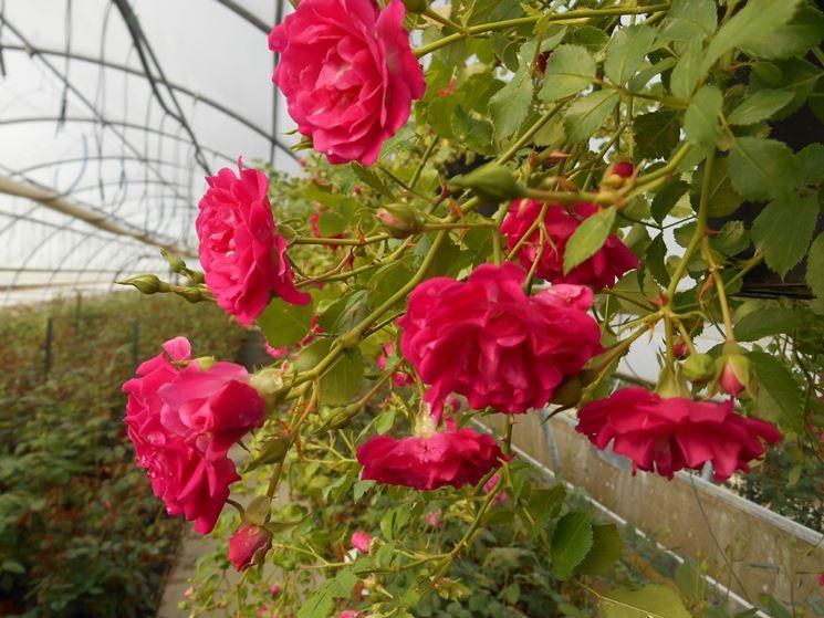 rosa satin violet