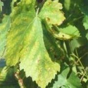 carenza nutritiva piante