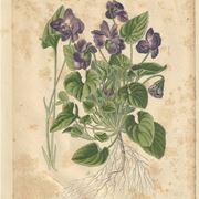 tavola viole favali