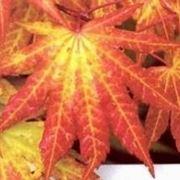 Aceri in autunno