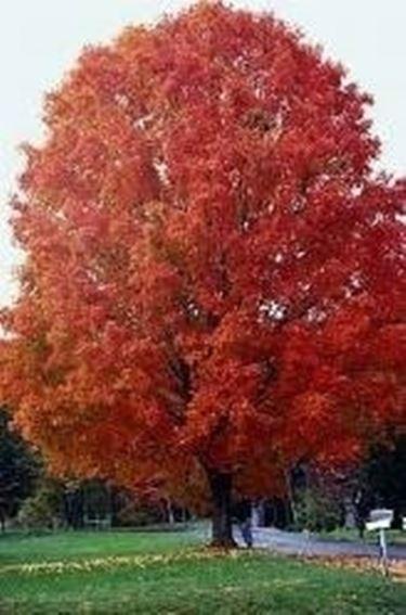 Acer saccarum