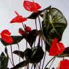 """Anthurium andraeanum"""""""
