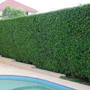 Ligustro da siepe siepi ligustro da siepe giardino for Siepe sempreverde
