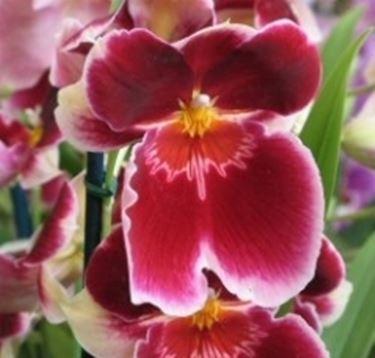 orchidee regalo