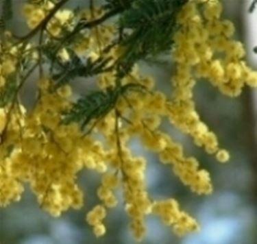 regalare mimosa