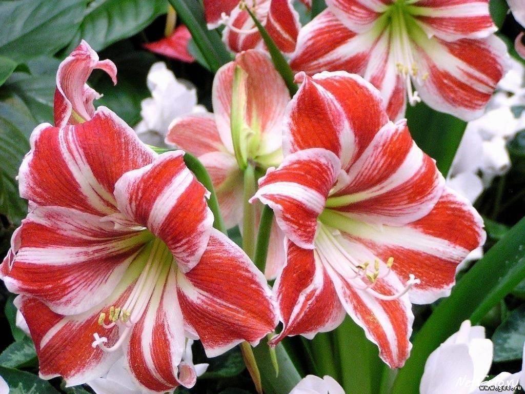 amaryllis fiore