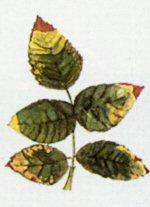 Malattie della rosa rose for Ruggine delle rose