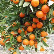 frutti degli alberi di agrumi