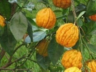 citrus aurantium canaliculata