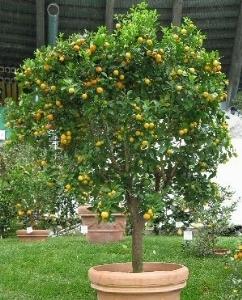 Agrumi for Mapo frutto