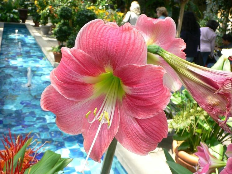 amaryllis pianta