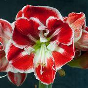 bulbi amaryllis