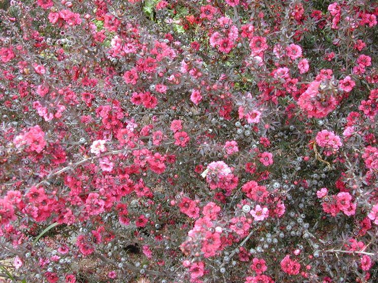 leptospermum scoparium rosa