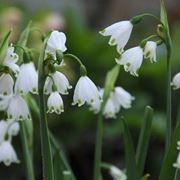 fiori campanelle