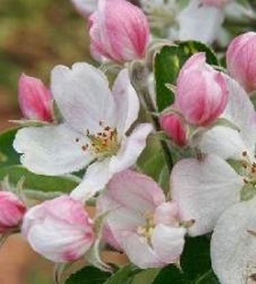 fiori di pero