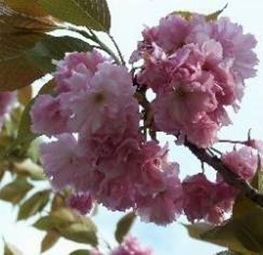 fiori di prunus mume