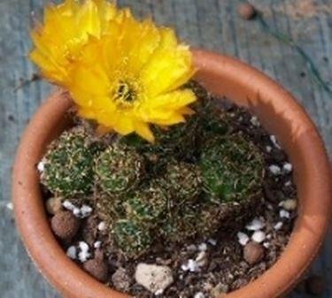 succlente fiori