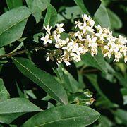 fiori bianchi profumati
