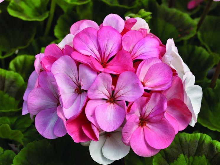 geranio fiorito<p />