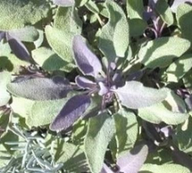 salvia officinali