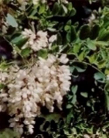 robinia fiori