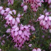 calunna vulgaris
