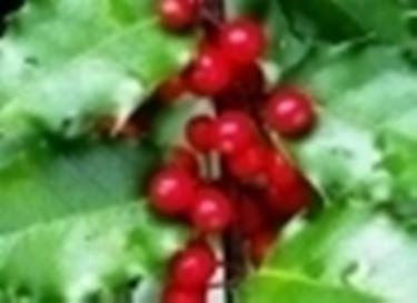 frutti di ilex