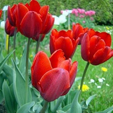 tulipani coleur cardinal