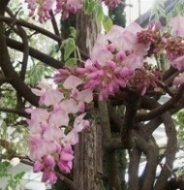 wisteria rosa