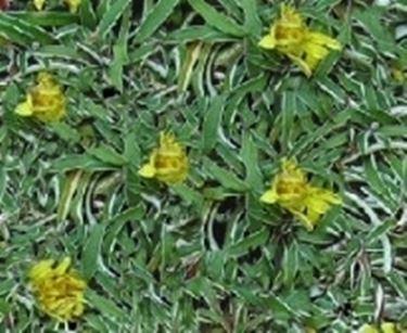 Mobili lavelli piante tappezzanti perenni calpestabili for Prato senza manutenzione